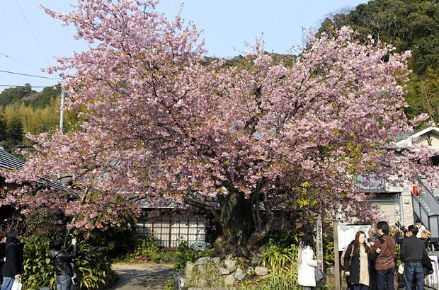 河津桜・原木