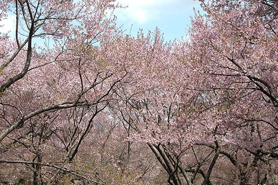 高遠城址公園の小彼岸桜