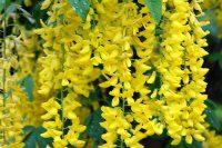 足利フラワーパークの黄花藤