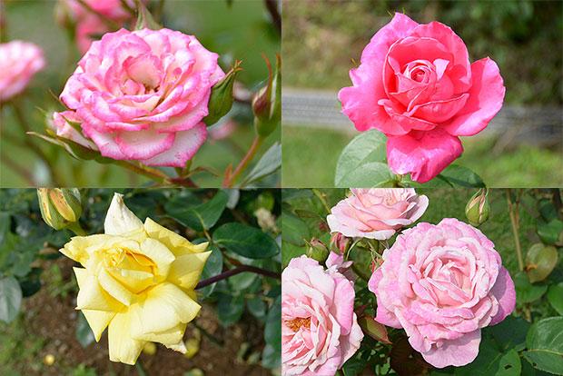 ローリスガーデンのバラ