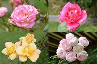 レイクウッドガーデンのバラ