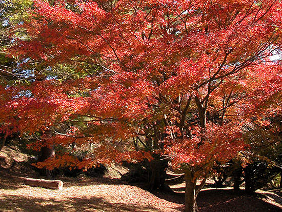 もみじ林(修善寺自然公園)