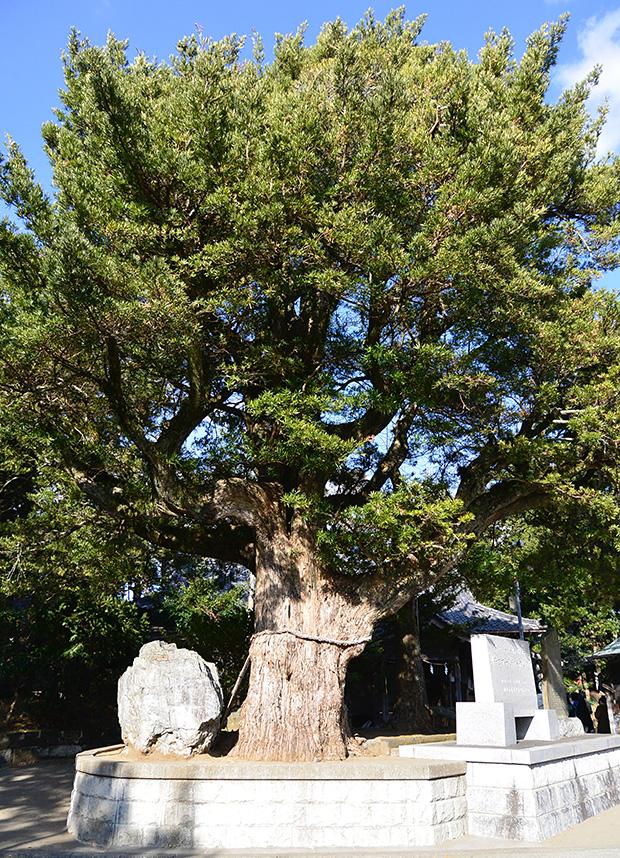 鶴谷八幡宮・マキの木
