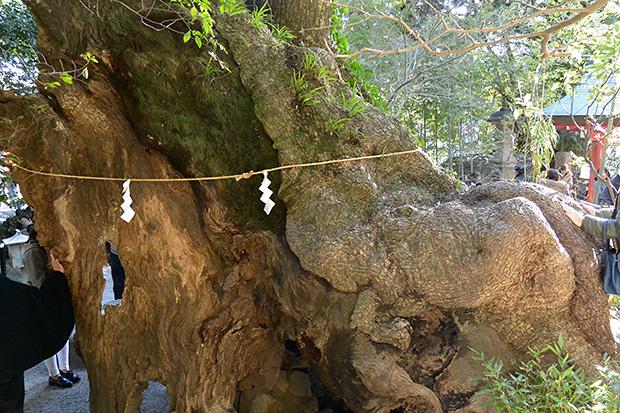 來宮神社・第二大楠に祈る
