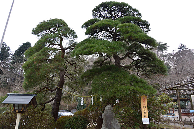 宝登山神社・相生松