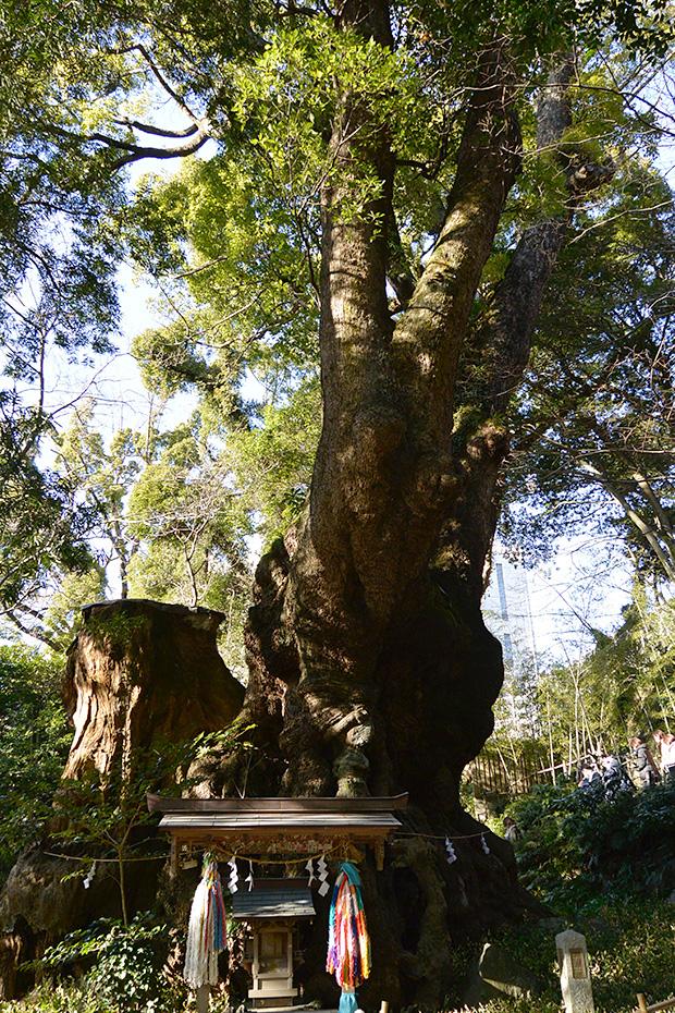 來宮神社 樹齢1200年の大楠