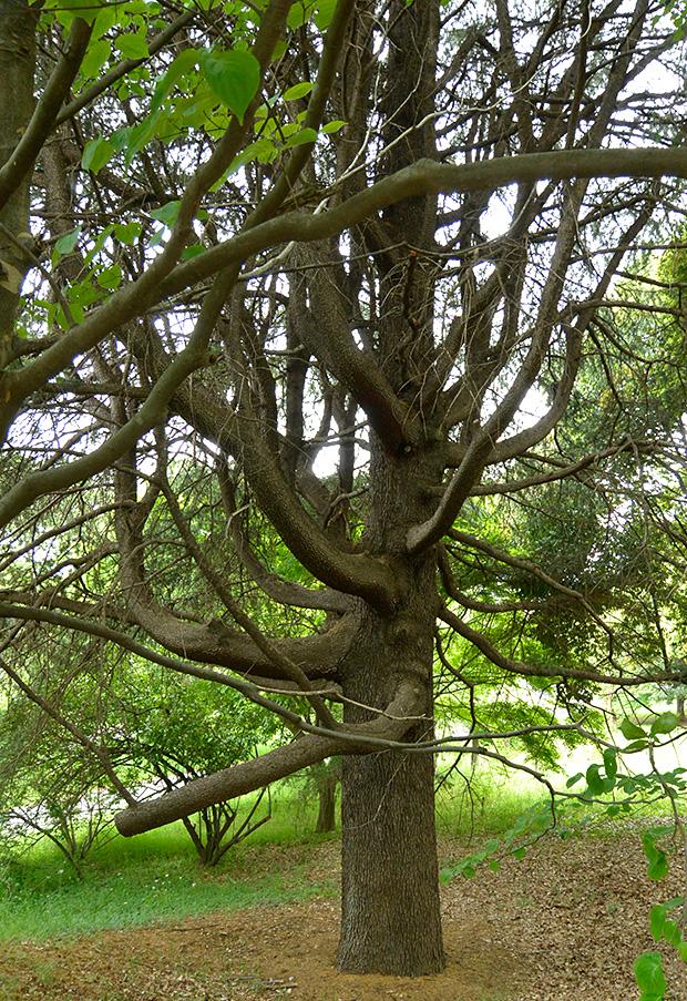 魔女の樹木
