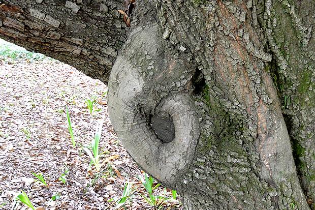 ゾウの樹木