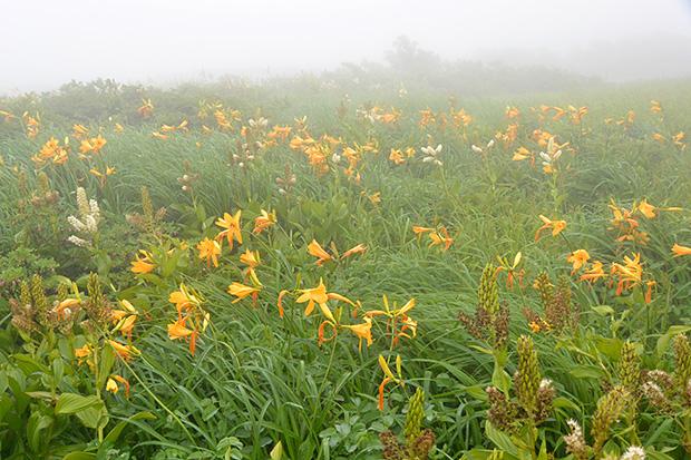 弥陀ヶ原湿原の高山植物
