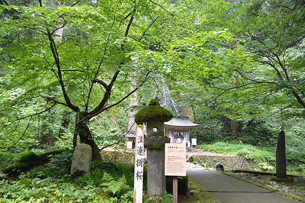 羽黒山・注連掛桜