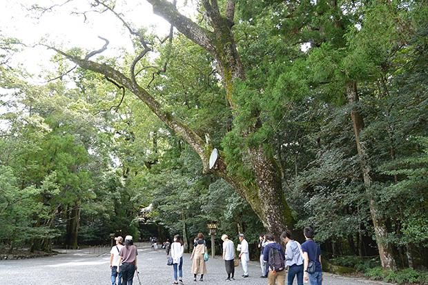 樹齢600年の木