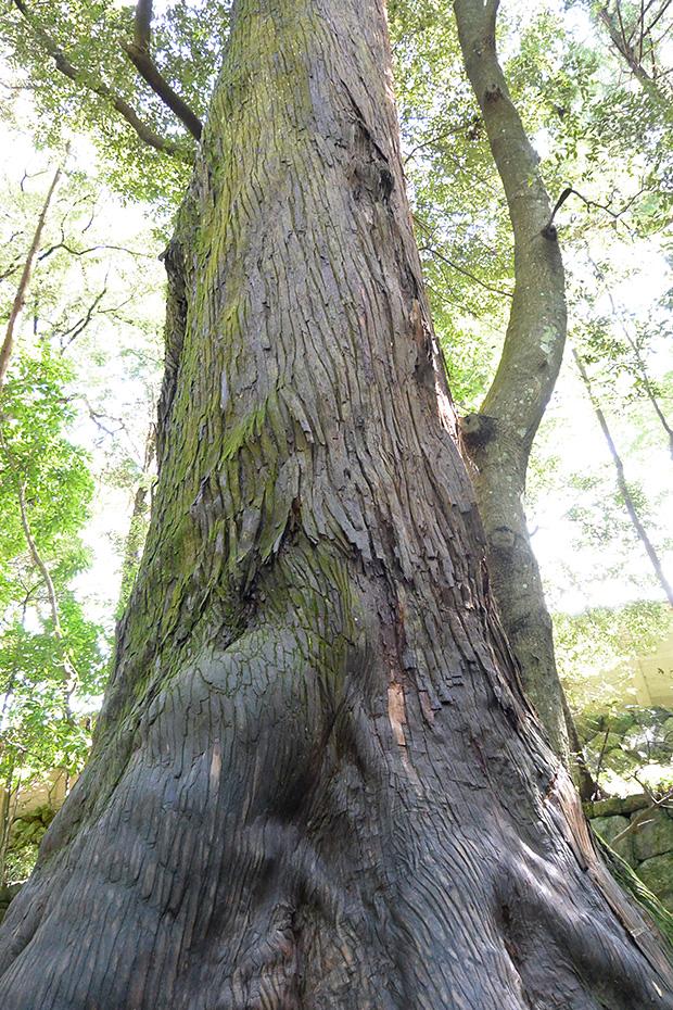 樹齢1000年の木?