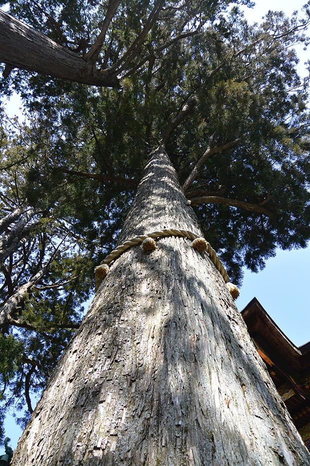 三峯神社のご神木