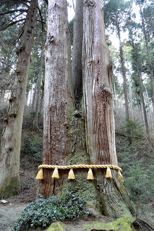 天狗が棲んでいたと言う御神木「三本杉」