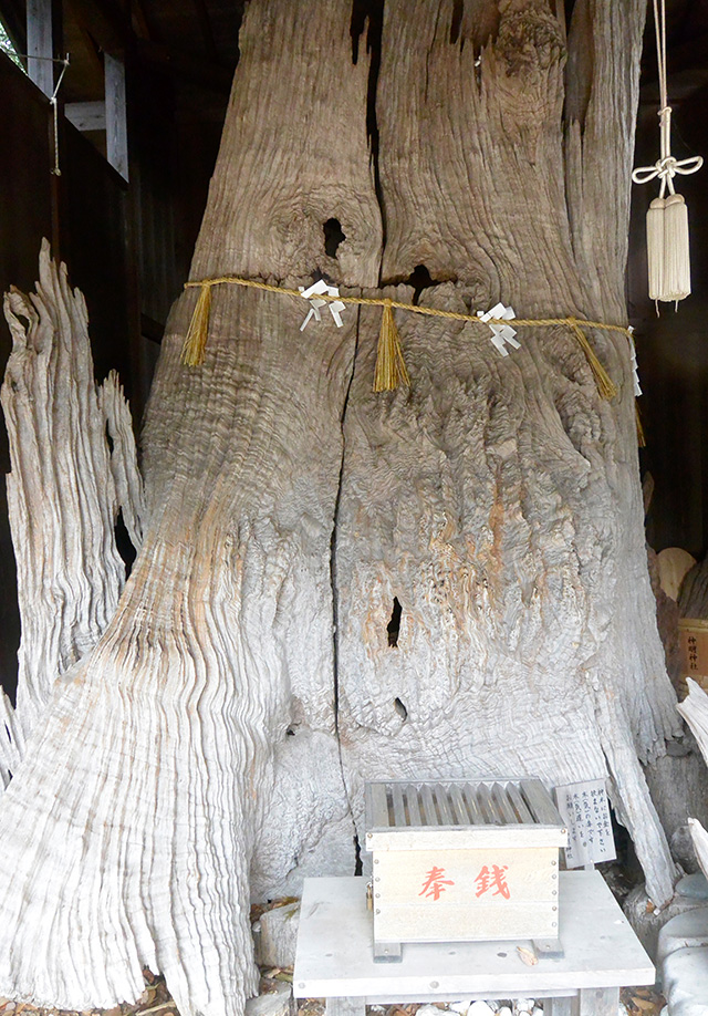 ご神木の楠の木の枯れ木