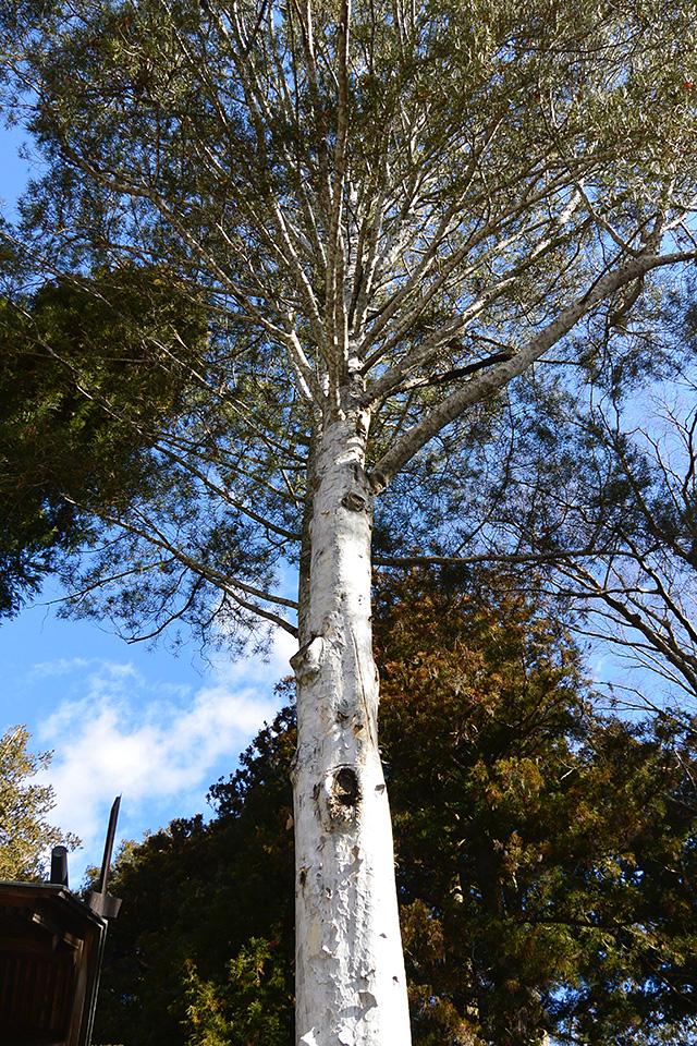 秋宮・白い木肌の松