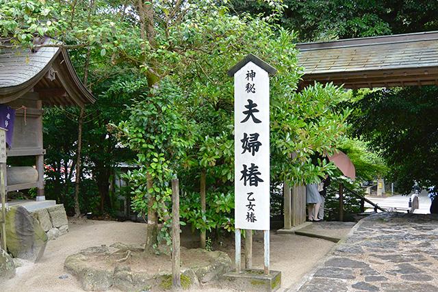 八重垣神社・夫婦杉(乙女椿)