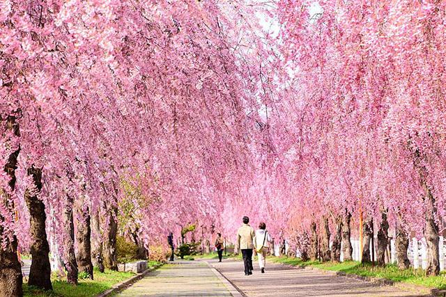 福島市日中線しだれ桜並木